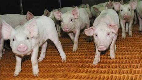 Минсельхозпрод Беларусии будет еженедельно контролировать процесс возрождения свиноводства