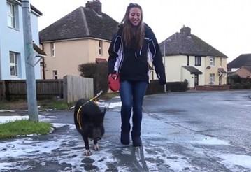 Избежавшая бойни свинья возомнила себя собакой