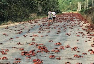 Миллионы крабов заполонили берега Кубы